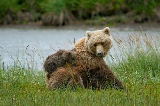 L'ourson disparu dans le Tarn retrouvé sain et sauf