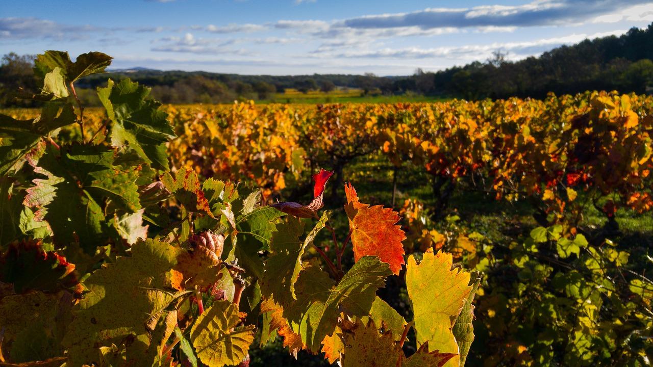 Au nord de Toulouse, la cuvée 2019 du vin de Fronton annoncée de qualité