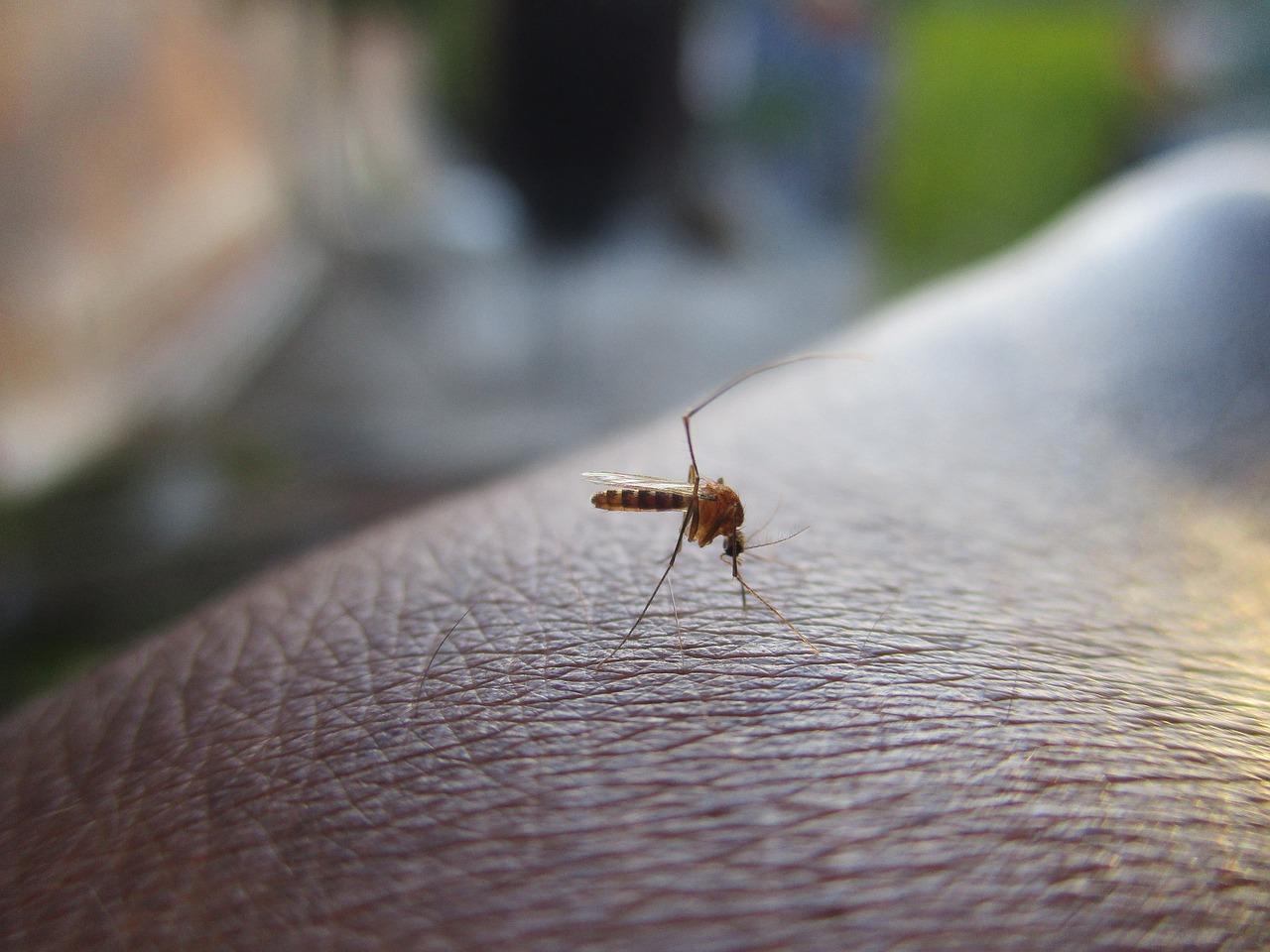 Le moustique Tigre en avance à Toulouse ou Blagnac
