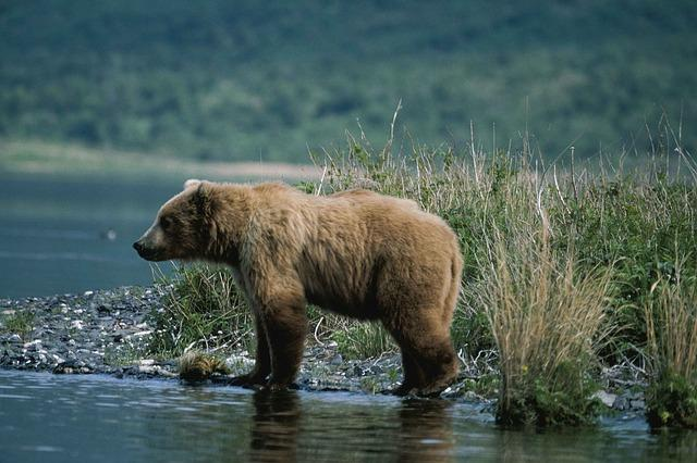 52 ours dans les Pyrénées où sont ils