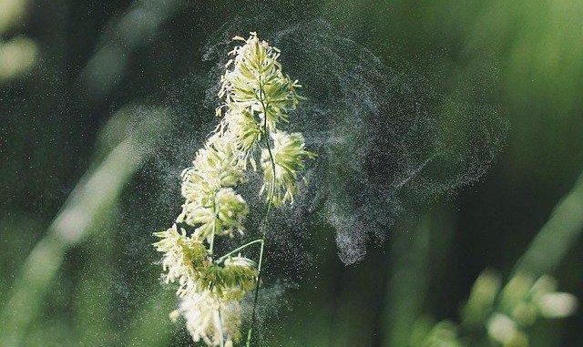 Alerte aux pollen de Graminées