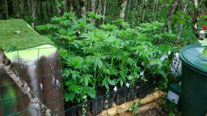 Les plans de cannabis étaient sous vidéosurveillance