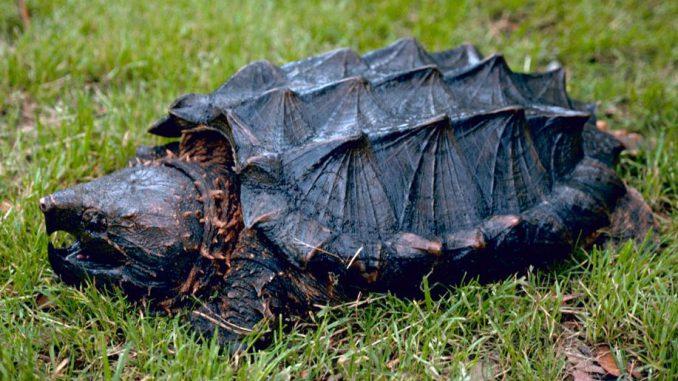 Une tortue alligator découverte près de Toulouse