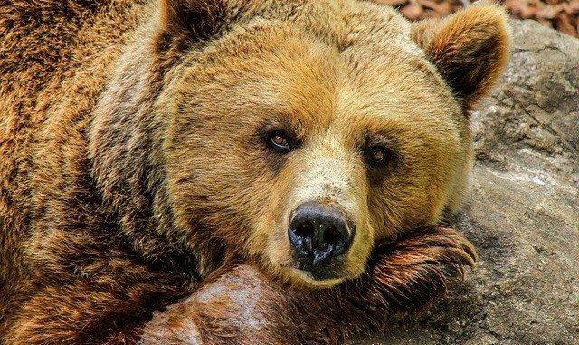 Ours tué dans les Pyrénées Sea Sheppard offre 10000 euros pour retrouver l'auteur