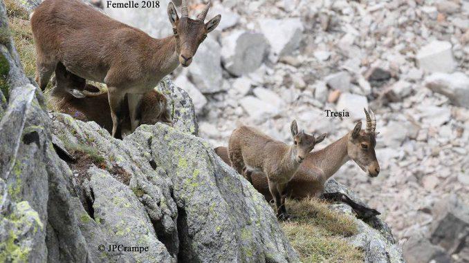 41 bouquetins sont nés dans les Pyrénées