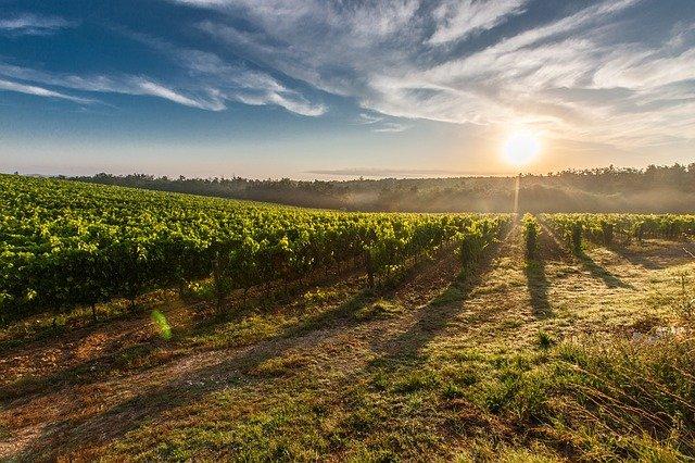 """Le gel """"a frappé durement le vignoble du Languedoc"""""""